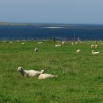 sheep and sea