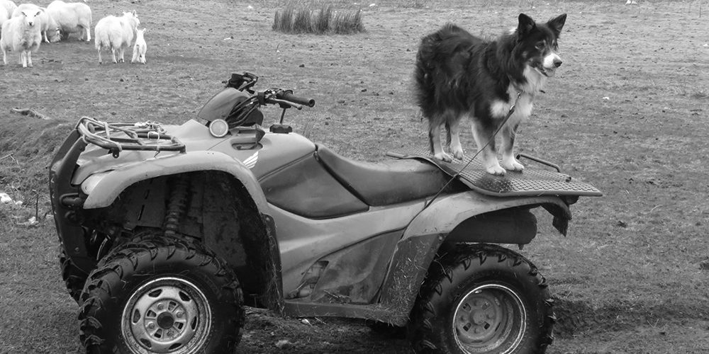 Sheepdog on quad bike