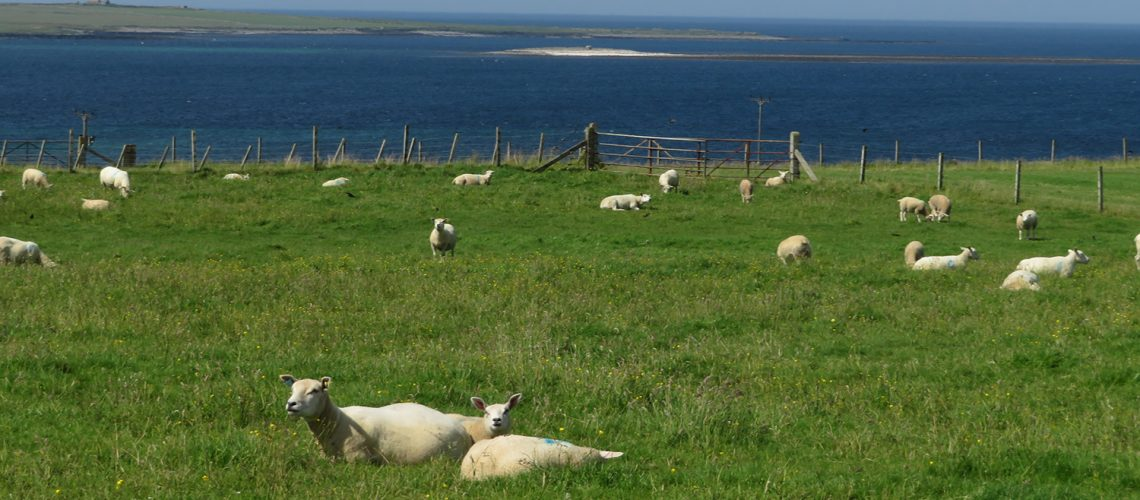 sheep and sea